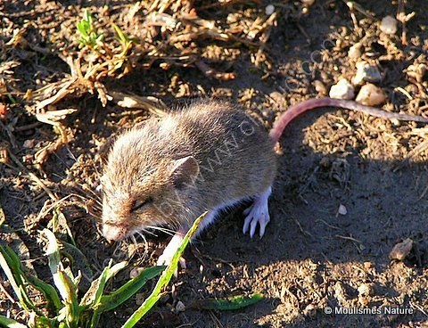 (?)Wood Mouse (Apodemus sylvaticus)