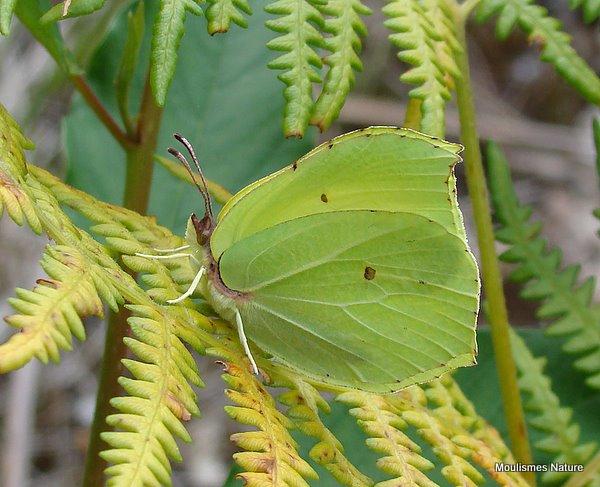 Brimstone (Gonepteryx rhamni) M