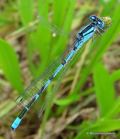 Common Blue Damselfly (Enallagma cyathigerum) M, Agrion porte-coupe