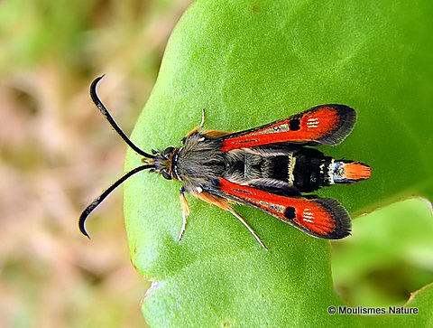 Fiery Clearwing (Bembecia chrysidiformis)