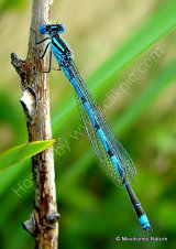 Goblet-marked Damselfly (Erythromma lindenii) M, Agrion a longs cercoides
