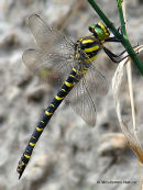 Golden-ringed Dragonfly (Cordulegaster boltonii) F