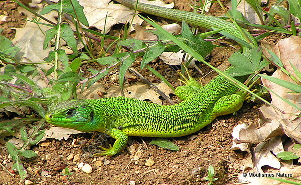 Green Lizard (Lacerta bilineata) M