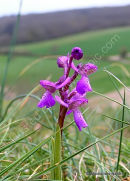 Green-winged Orchid (Orchis morio), Orchis bouffon
