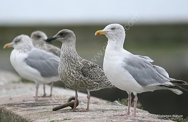 L. argentatus juvenile (centre)