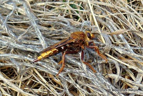 Hornet Robberfly (Asilis crabroniformis)