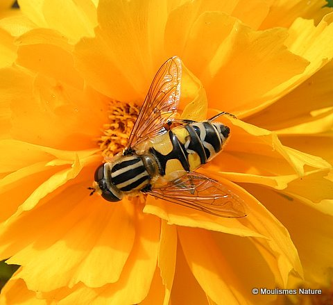 Helophilus pendulus (Common Tiger Hoverfly) F