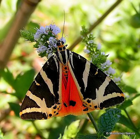 Jersey Tiger (Euplagia quadripunctaria)