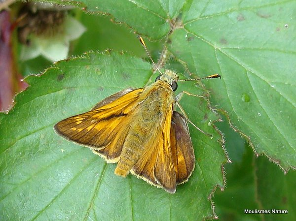 Large Skipper (Ochlodes venatus) M