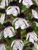 Lady Orchid (Orchis purpurea), Orchis pourpre