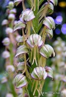 Man Orchid (Aceras anthropophorum), Orchis homme-pendu