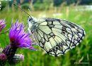 Marbled White (Melanargia galathea), Le Demi-deuil