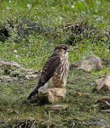 Merlin (Falco columbarius) Juv, Faucon emerillon