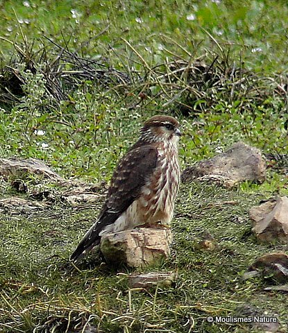 Merlin (Falco columbarius) Juv