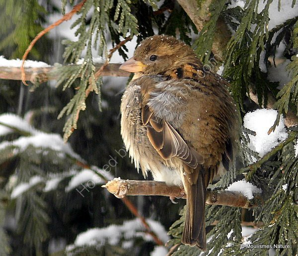 House Sparrow (Passer domesticus) F