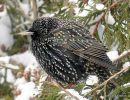 Common Starling (Sturnus vulgaris) Ad-W, Etourneau sansonnet