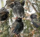 Common Starlings (Sturnus vulgaris) Ad-W