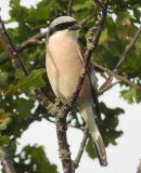 Red-backed Shrike (Lanius collurio) M, Pie-grieche ecorcheur