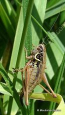 Roesel's Bush-cricket (Metrioptera roeselii) F