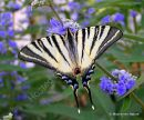 Scarce Swallowtail (Iphiclides podalirius), Le Flambe