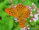 Silver-washed Fritillary (Argynnis paphia) M, Le Tabac d'Espagne