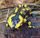 Fire Salamander (Salamandra salamandra), Salamandre tachetee