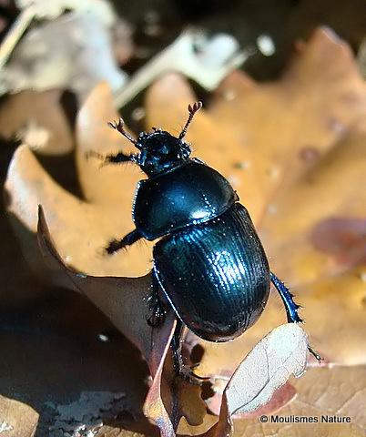 Dor Beetle (Geotrupes stercoriarius)