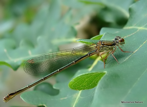 Small Red Damsefly (Ceriagrion tenellum) F-Imm