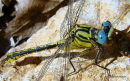 Yellow Clubtail (Gomphus simillimus) M, Gomphus similaire
