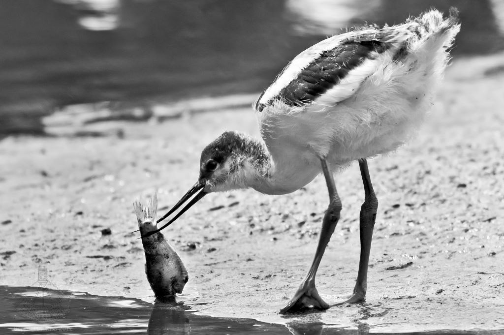 Young Avocet with Fish