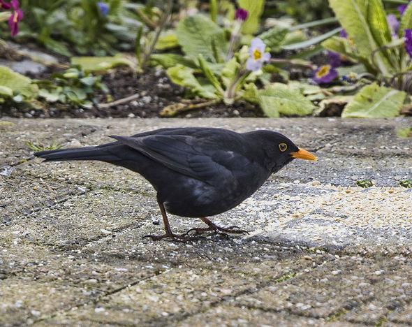 Birds Male blackbird Jill Toman