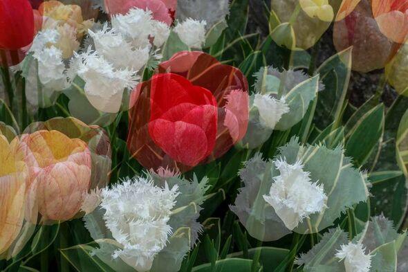Spring Hope Pamela BL