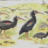 Bald Ibis, Morocco