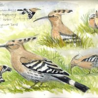 Hoopoe, Sandwich Bay