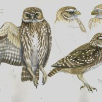 Little owl study