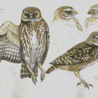 Little owl study