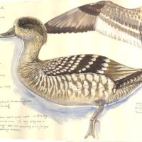 Marbled Teal study