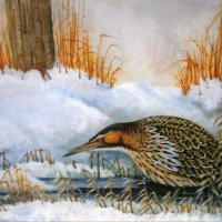 Winter Bittern