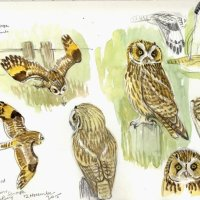 Short-eared Owl, Sandwich Bay