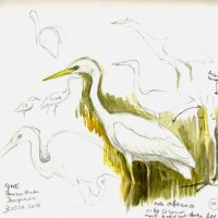 Great White Egret, watercolour & pencil 7 X 7 inches