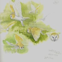 Barn Owl day hunting, Grove Ferry sketchbook 7 X 7 inches
