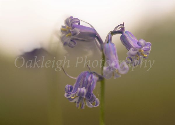 Bluebells echo