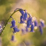 Bluebells in the dew