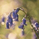 Bluebells sparkle