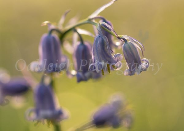 Bluebell perfection
