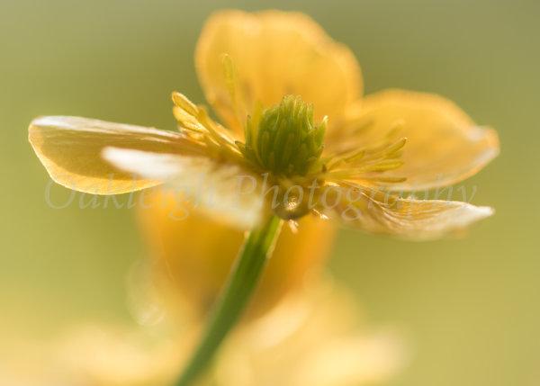 Buttercup close-up