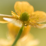 Buttercup close-up