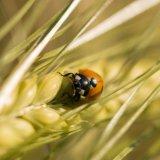 Ladybird on corn