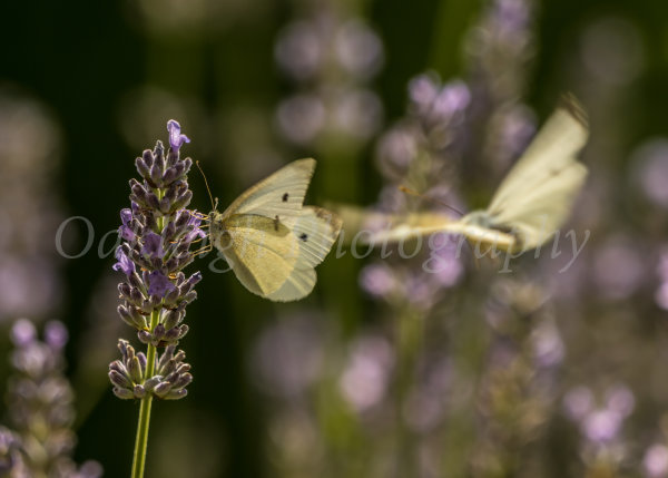 Cabbage white butterflies on lavender