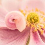 Japanese Anemone curl